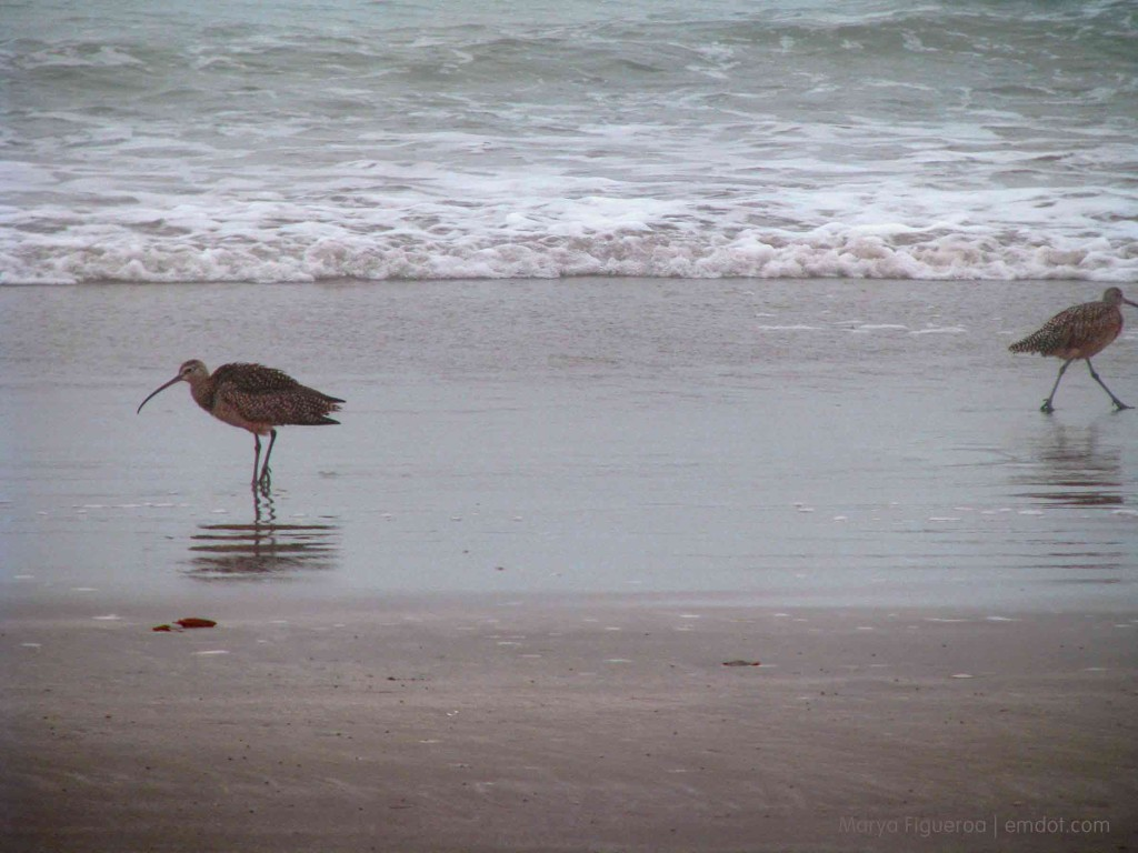 curlew went a-courtin'