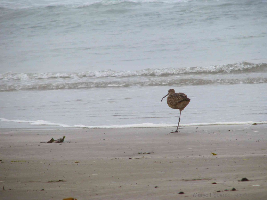 one-legged curlew