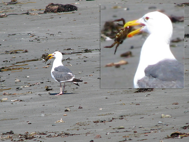 the gull will have the crab