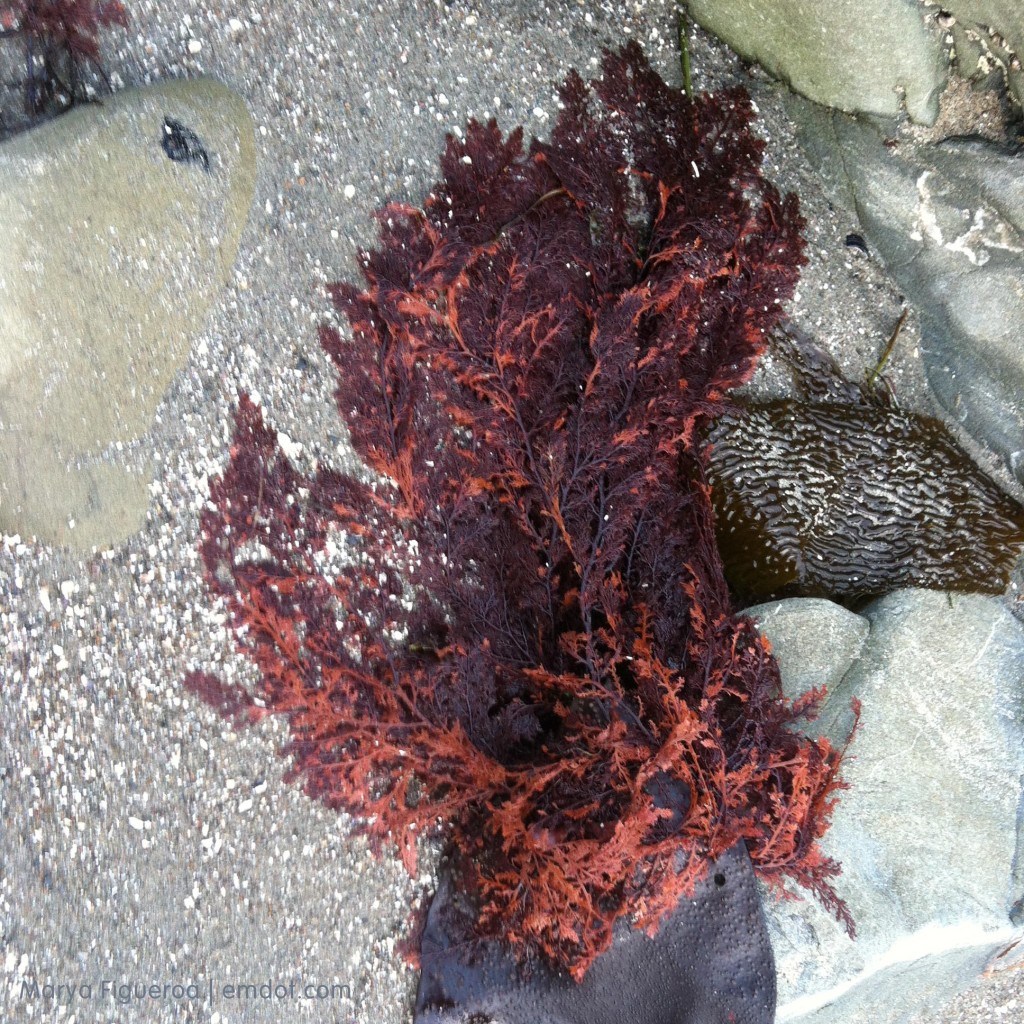 the red seaweed