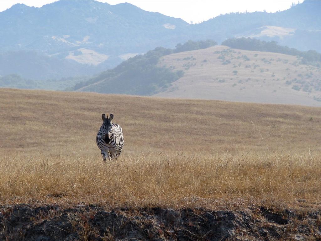 Zebra in San Simeon