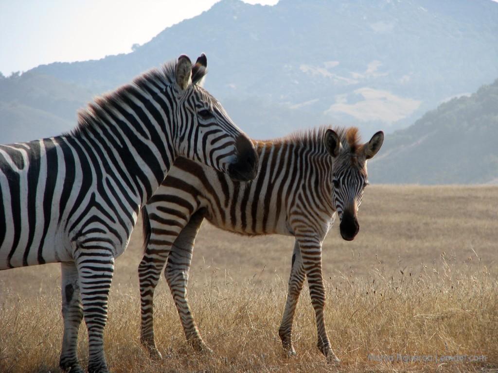 Zebras in San Simeon