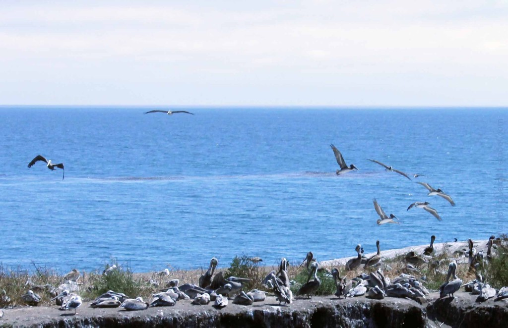 Pelicans taking off