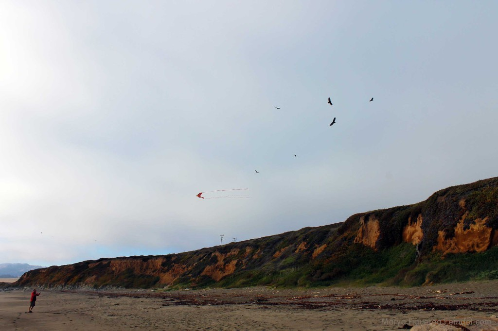 Flying kites with turkey vultures