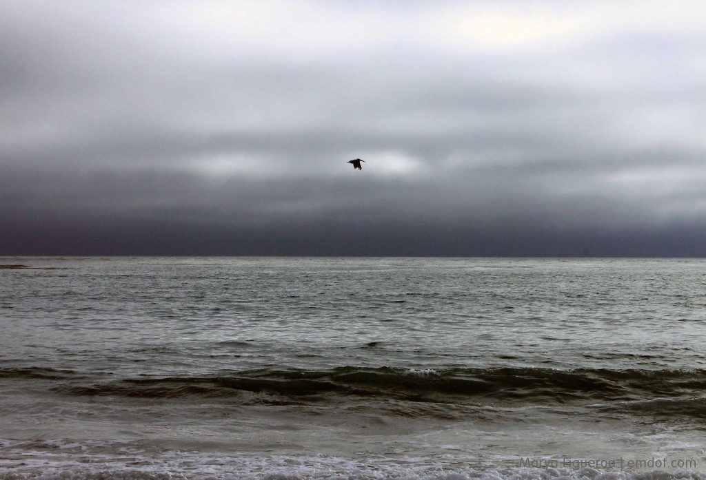 Lone pelican, dark sky