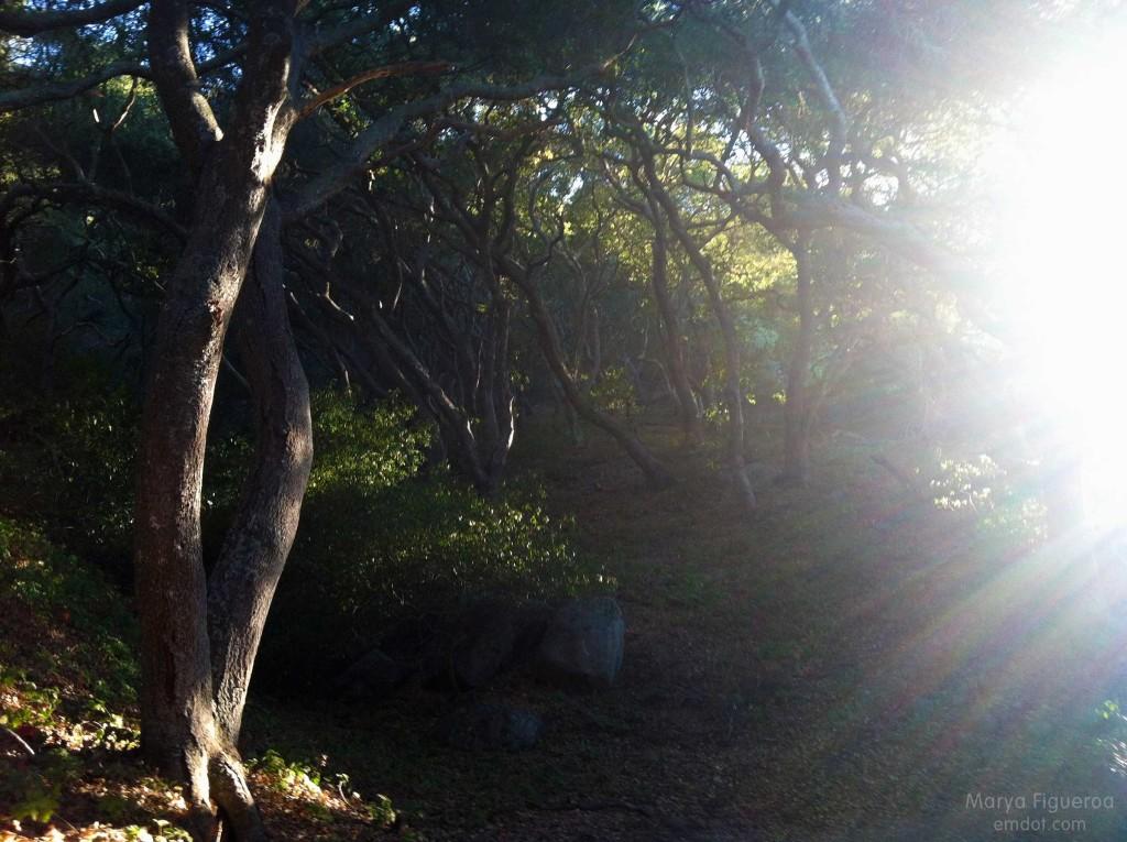 oak trees + sun burst