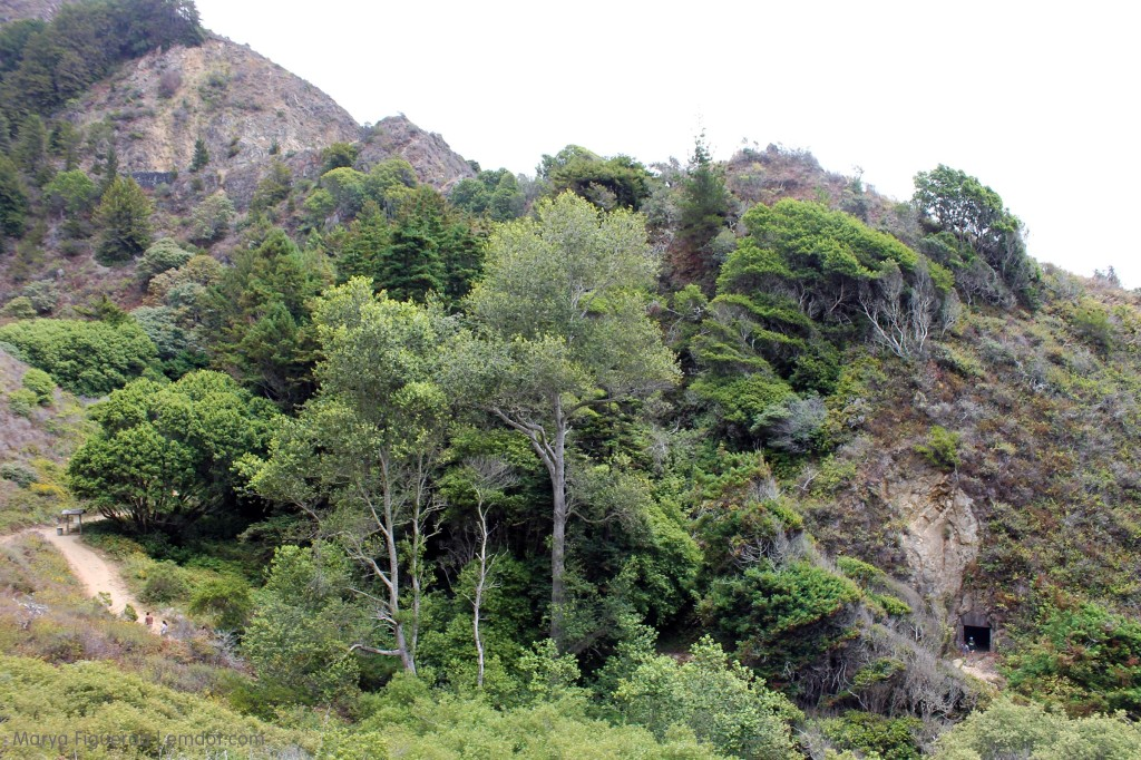 Trees along Partington Cove trail