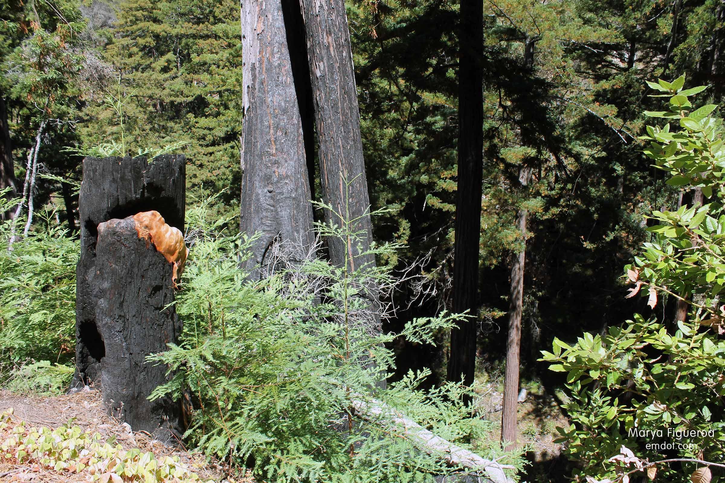burned trees and left stump