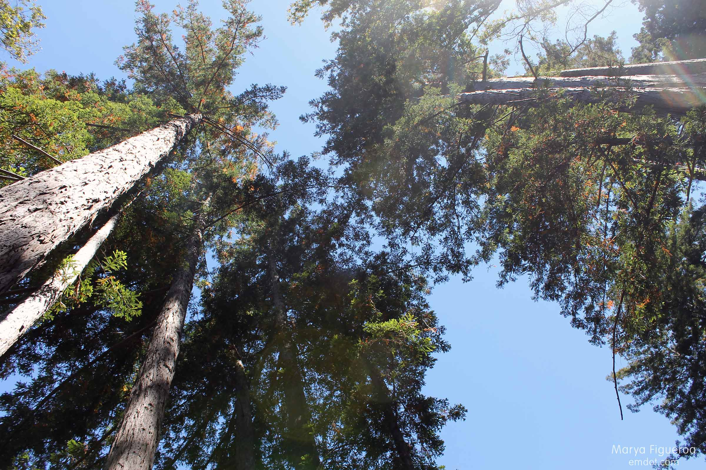 looking up to the tree canopy