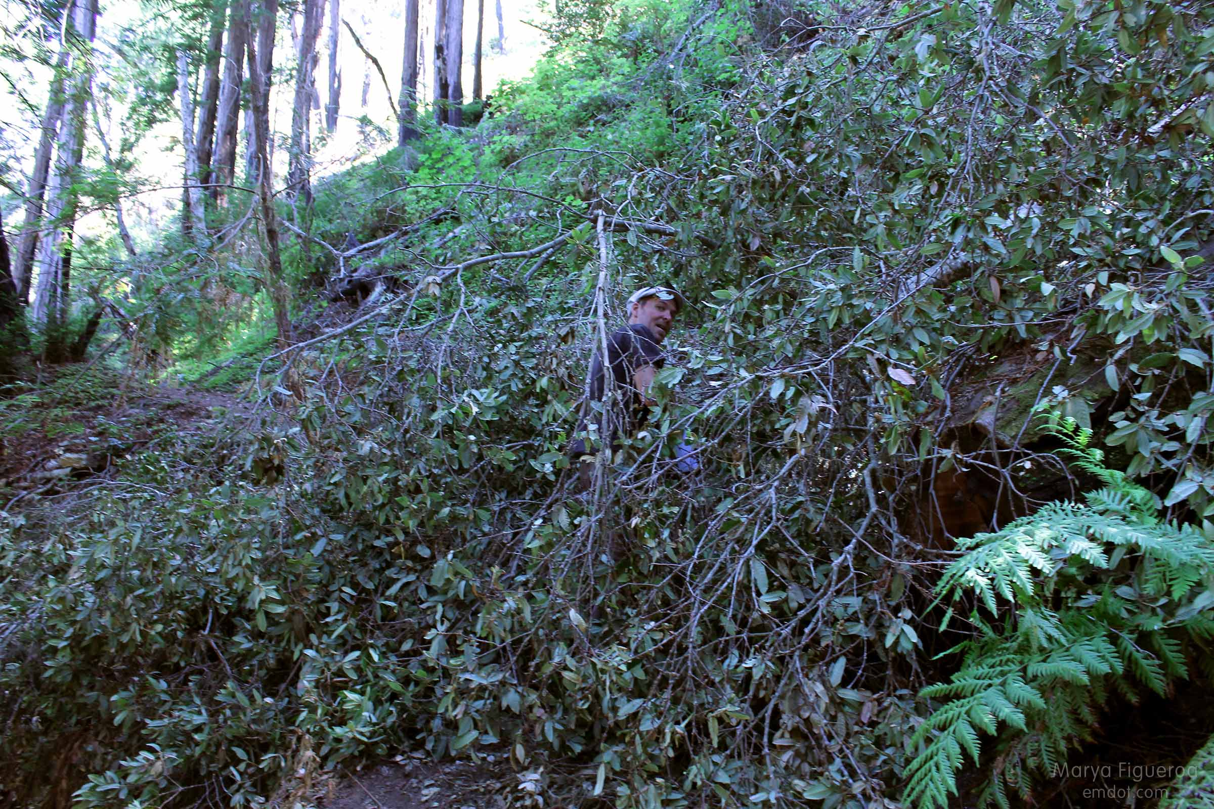 tanbark oak covering the trail, steve ducking and going under