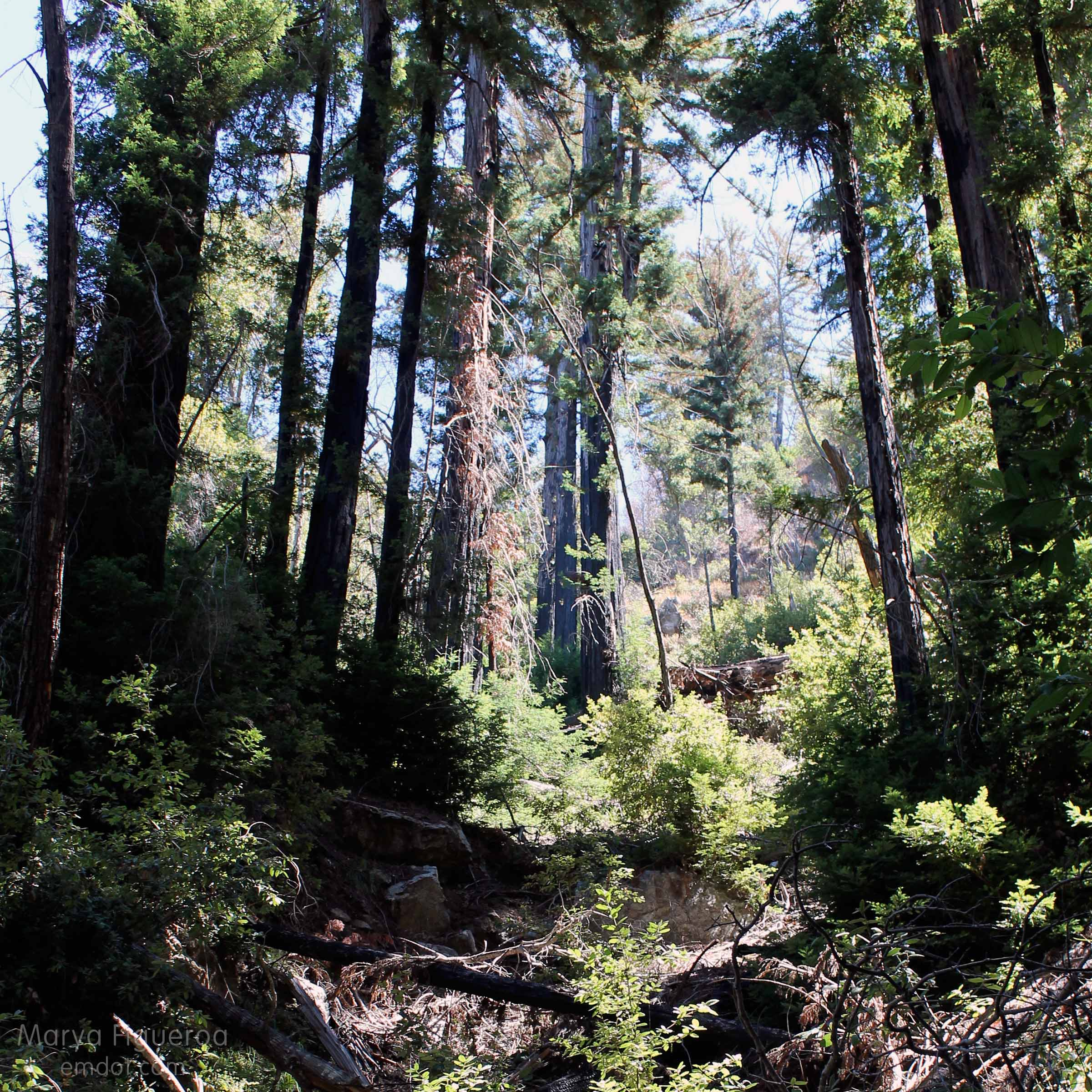 beautiful forest of coast redwoods