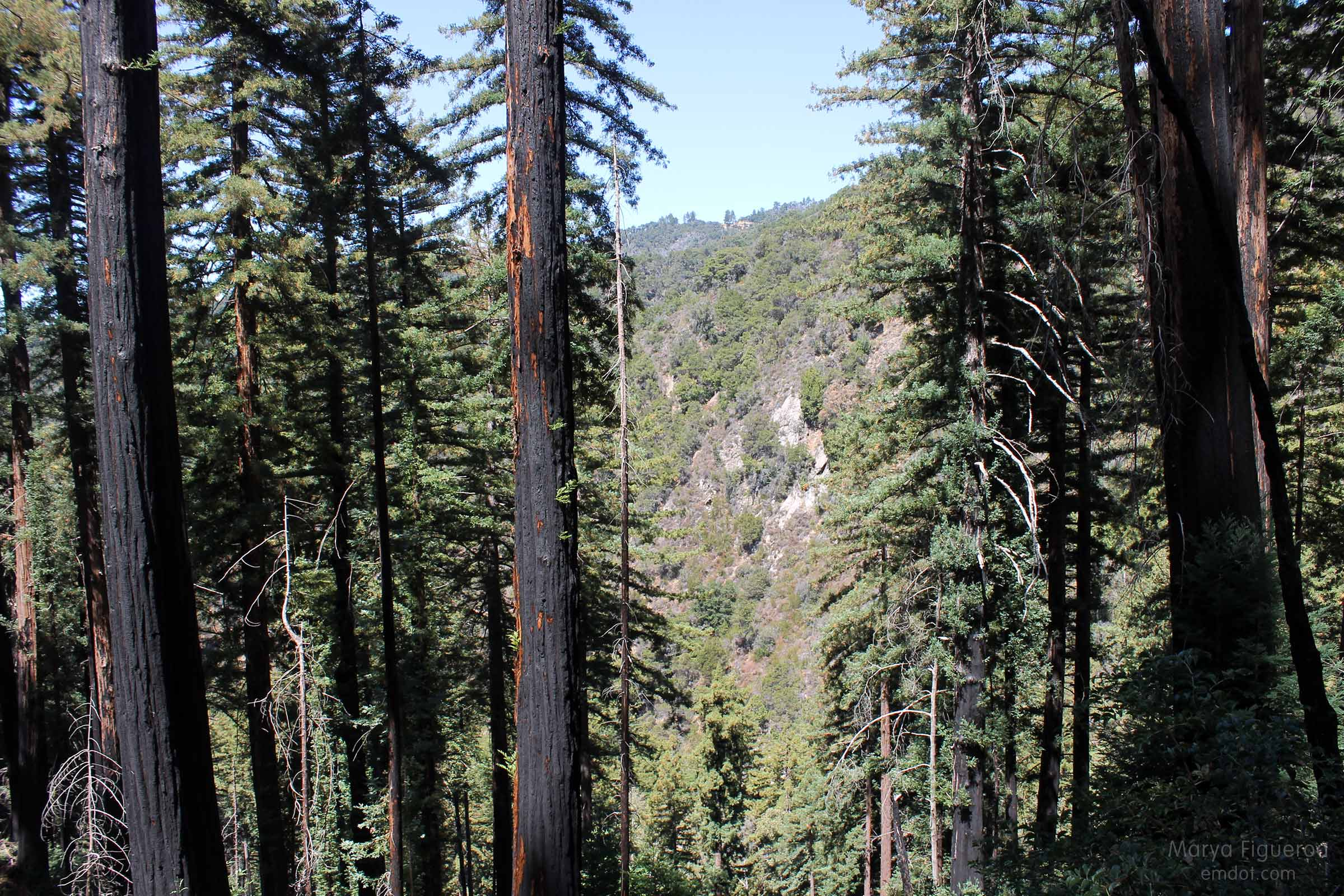 2009 fire burn survivors -- coastal redwood