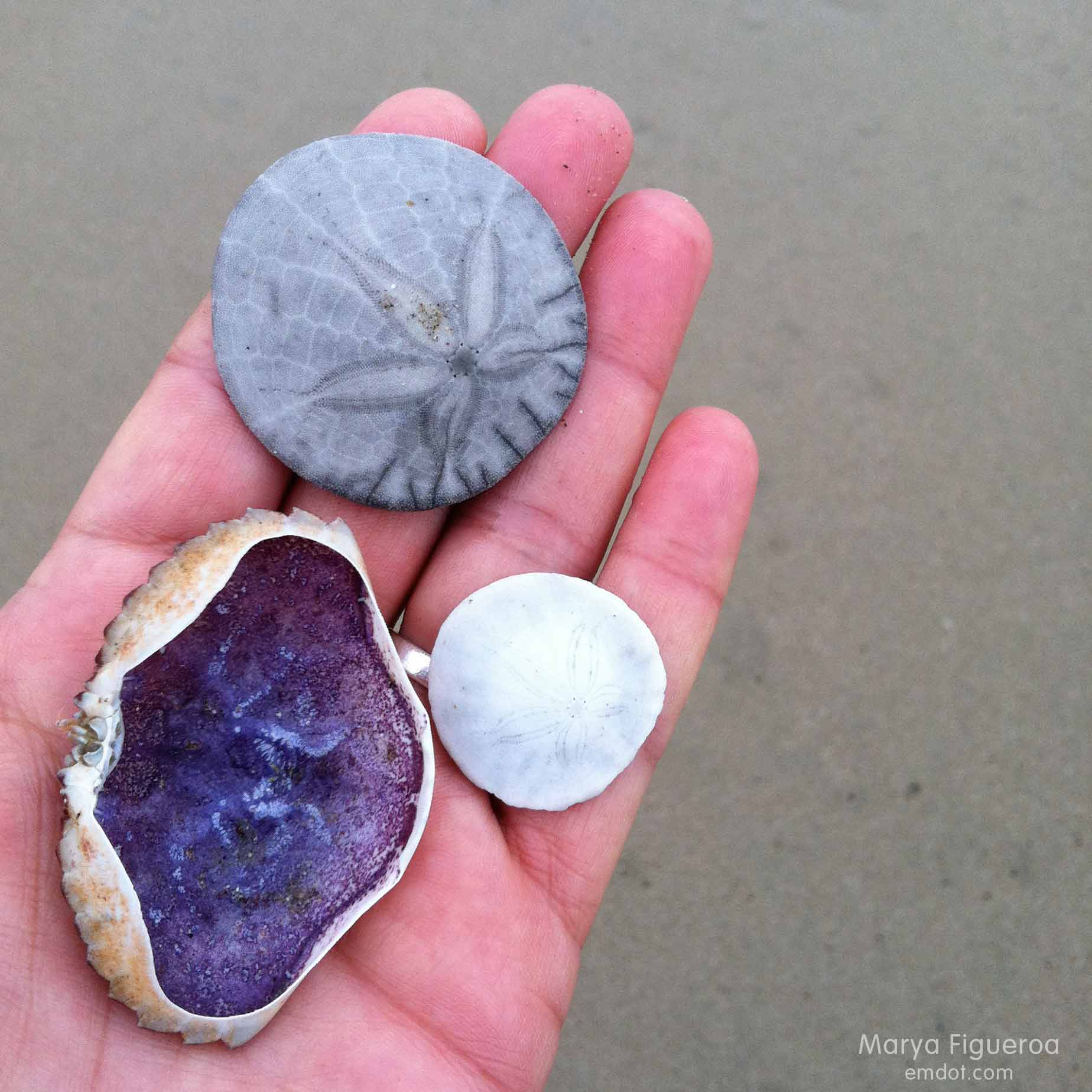 Crab shell and two sand dollars