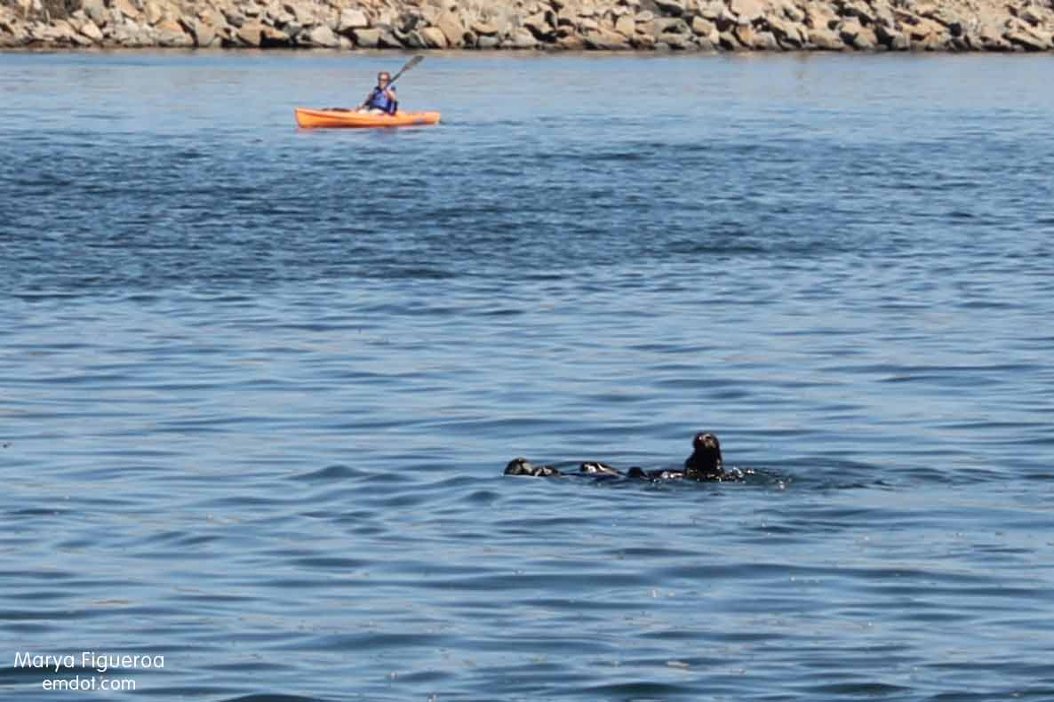 cute otter family with kayaker in the background