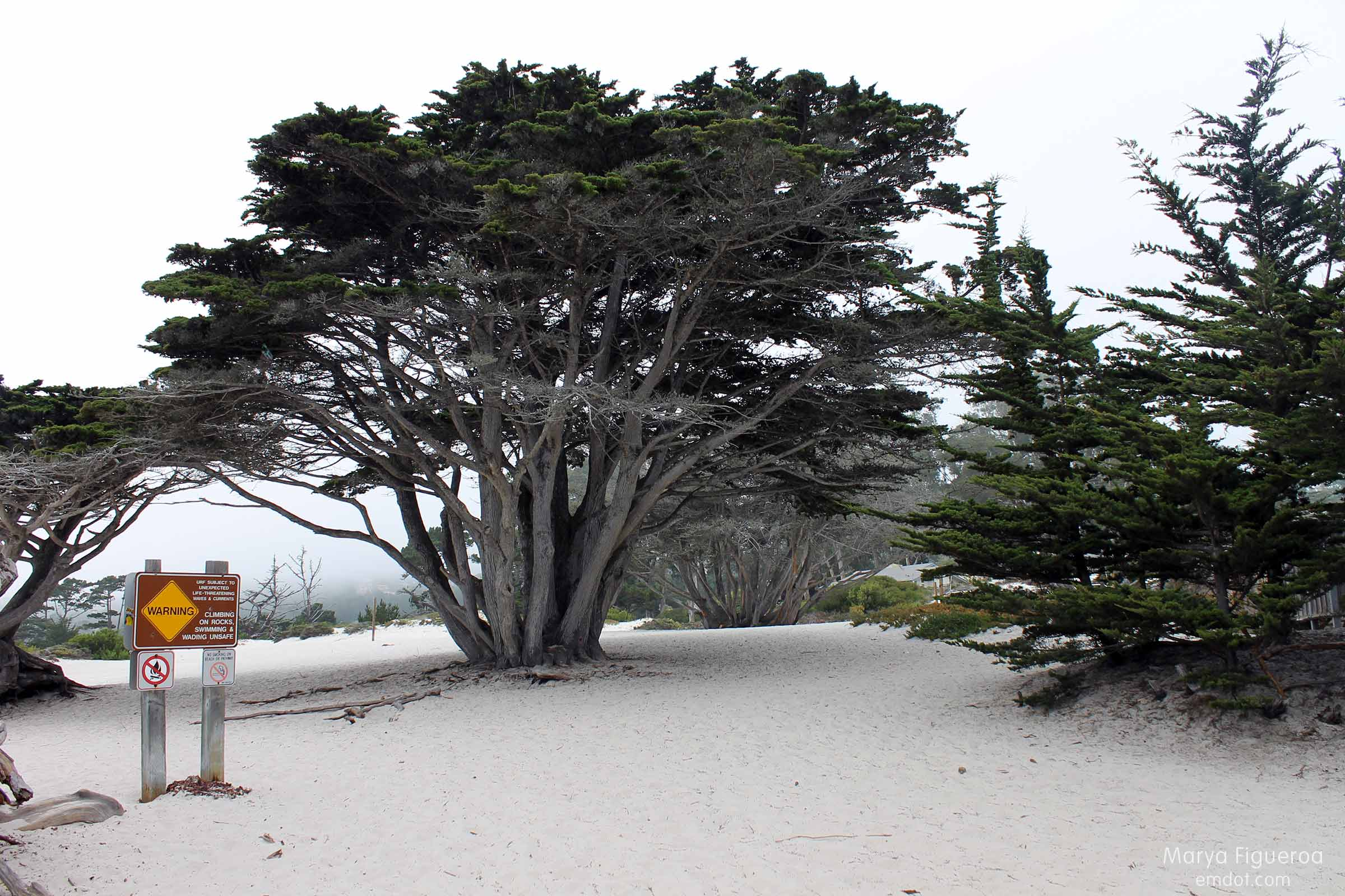 Monterey Cyprus, large