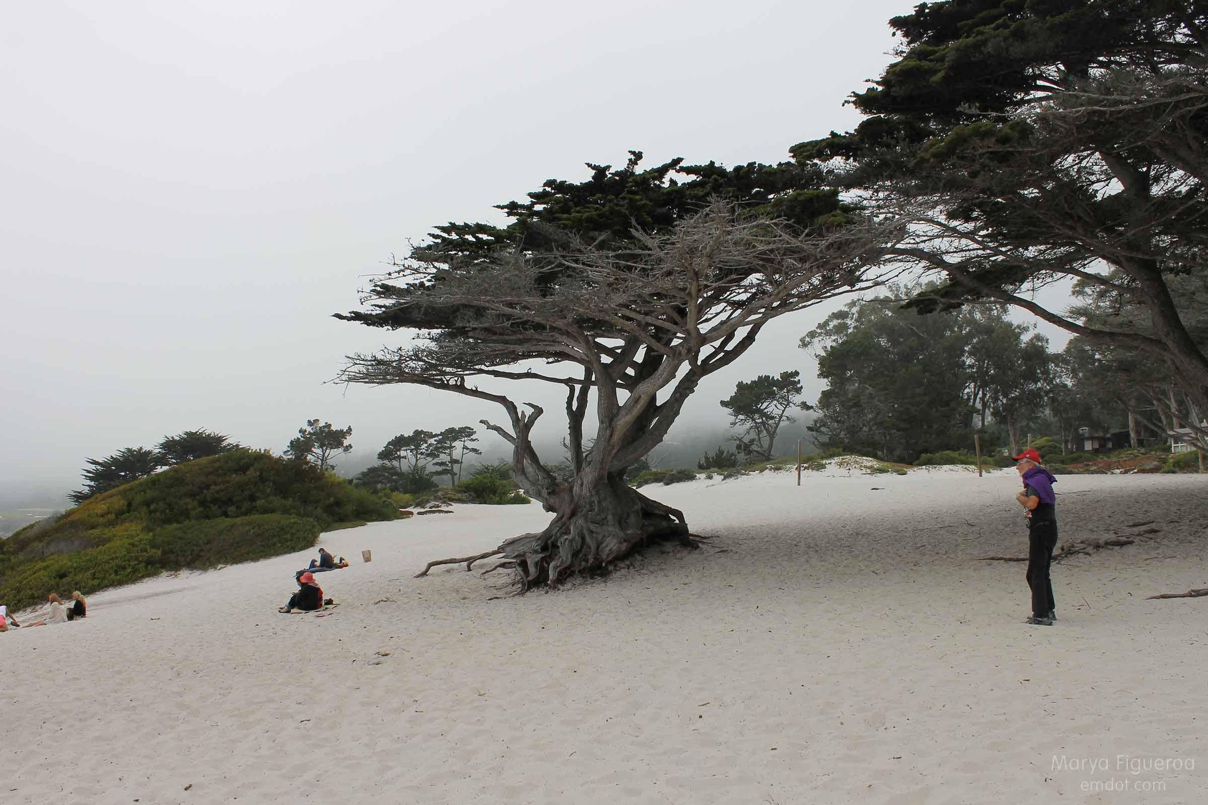 Monterey Cyprus, smaller