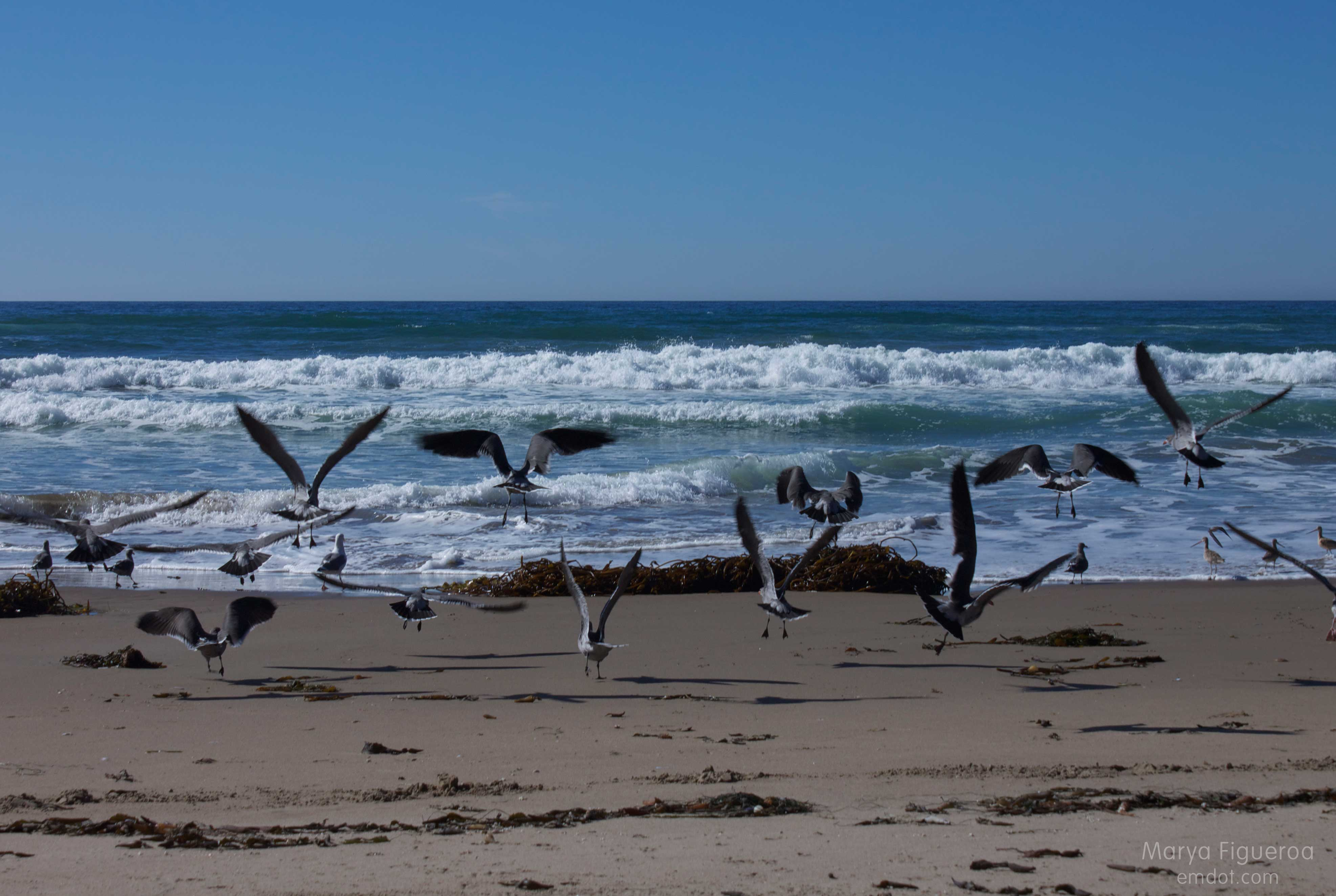 heerman's gulls flying away