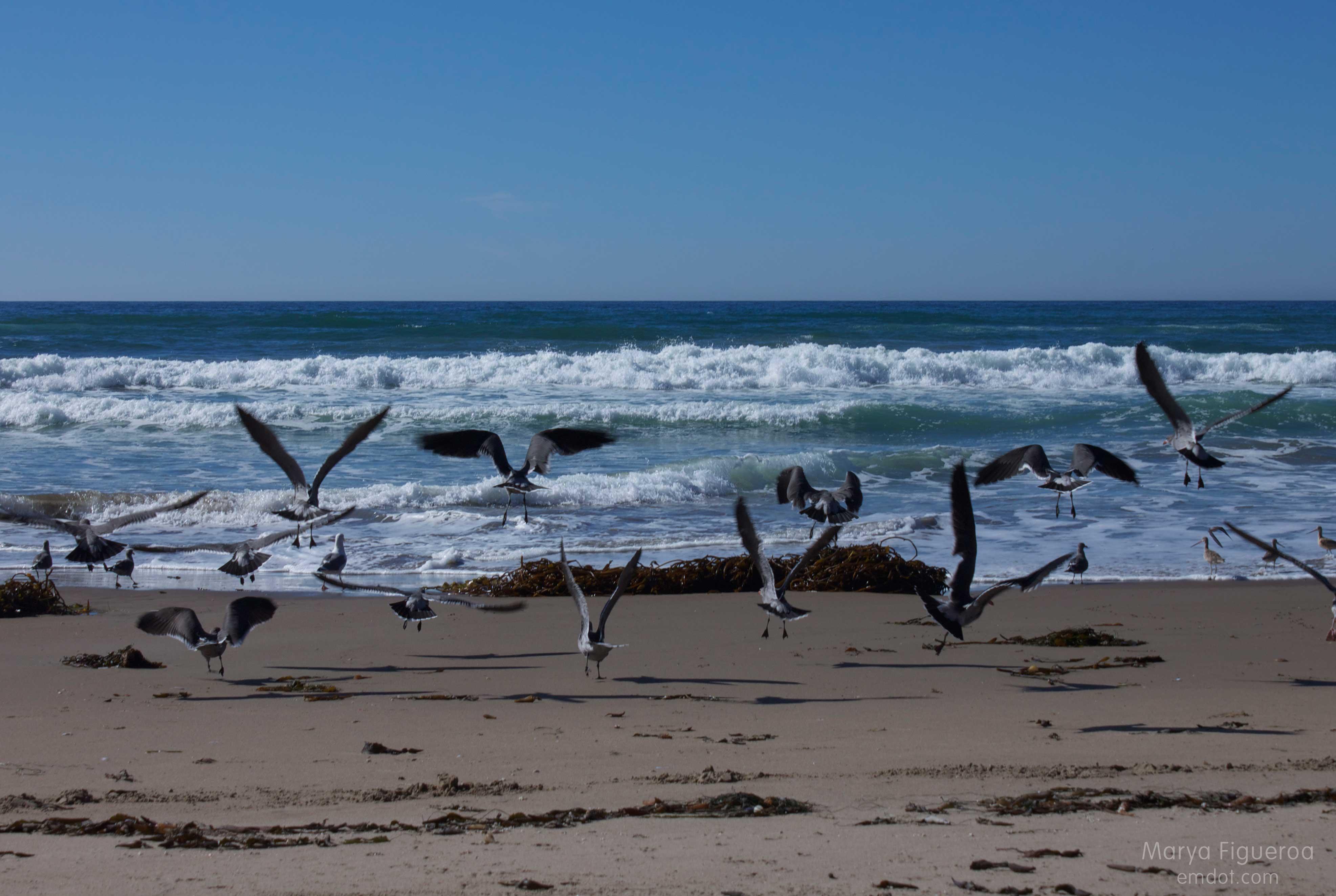 heerman's gulls flying away